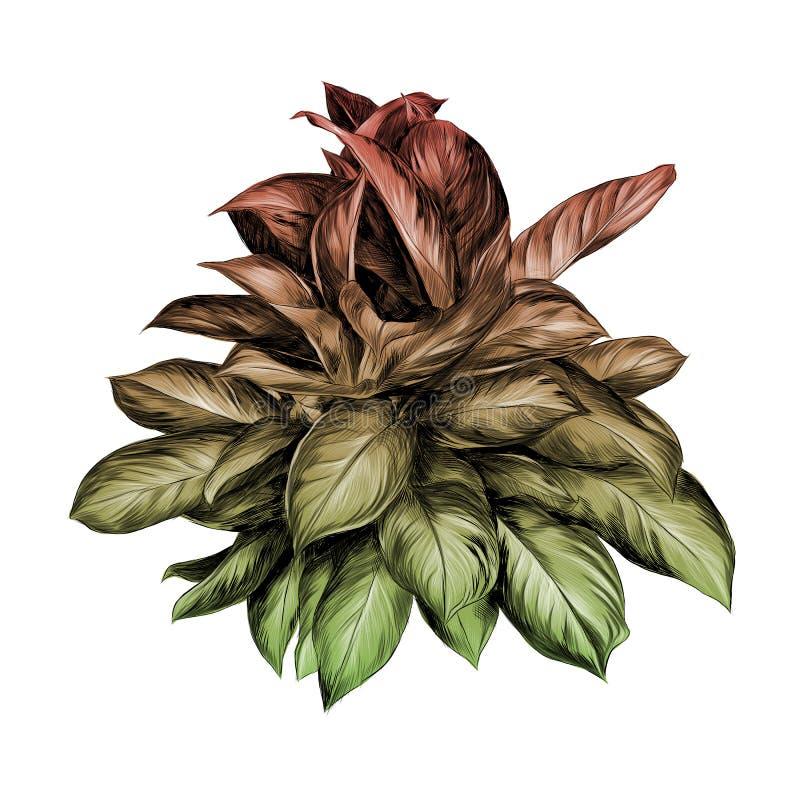 Kwiatu garnka aglaonema nakreślenia wektor ilustracji
