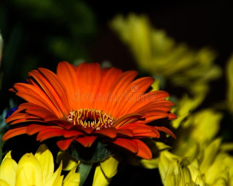kwiatu gerber zdjęcia royalty free