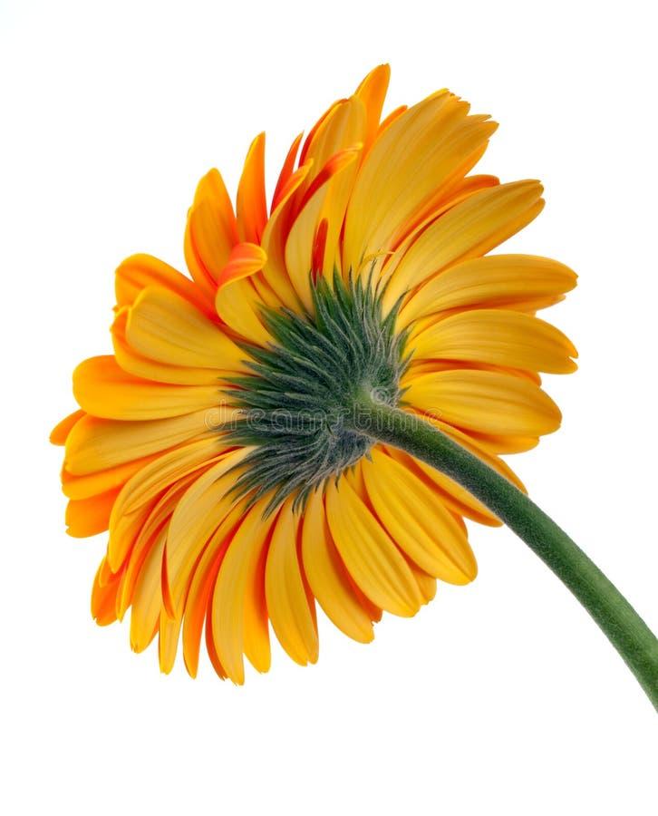 kwiatu gerber zdjęcie royalty free