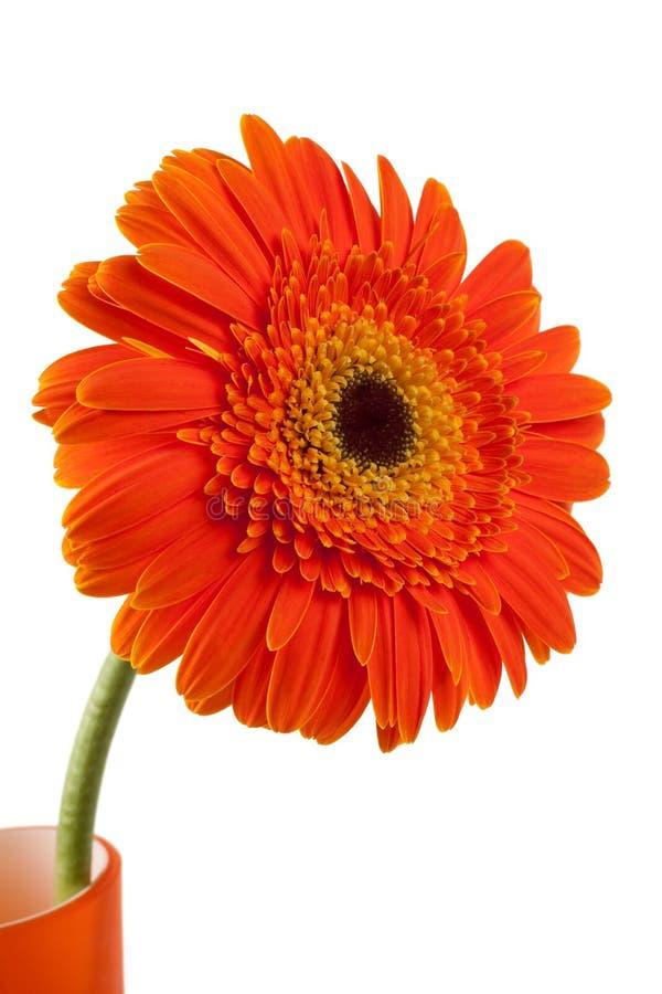 kwiatu gerber pomarańcze obrazy stock