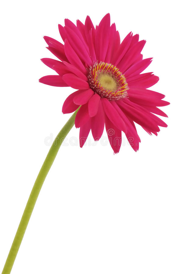 kwiatu gerbera obrazy stock