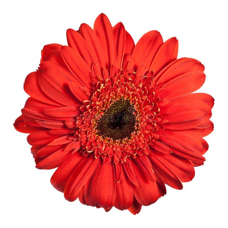kwiatu gerbera czerwień zdjęcie royalty free