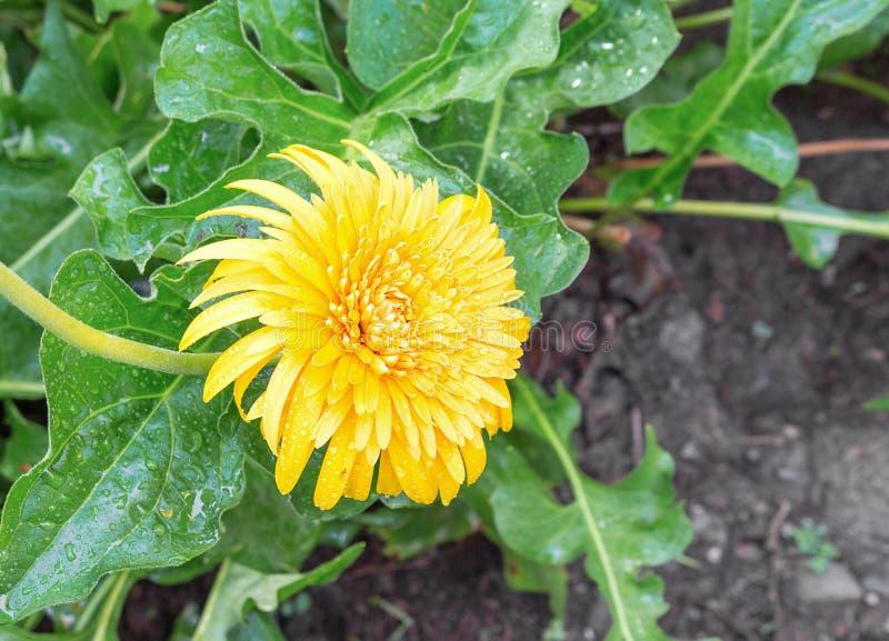 Kwiatu Gerbera Gerbera genus Kolor żółty z wod kroplami w ogródzie obrazy royalty free