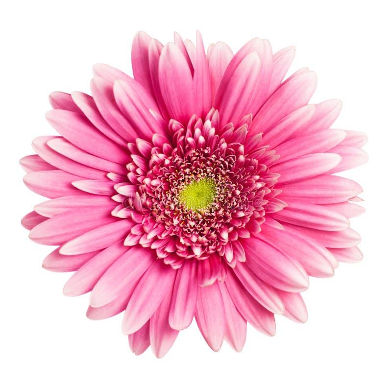 kwiatu gerbera menchie zdjęcia royalty free