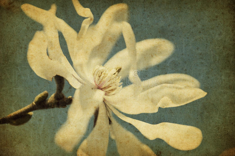 kwiatu grunge magnolia zdjęcia stock