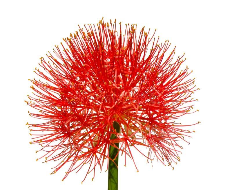 kwiatu hemantus odosobniony biel zdjęcia stock