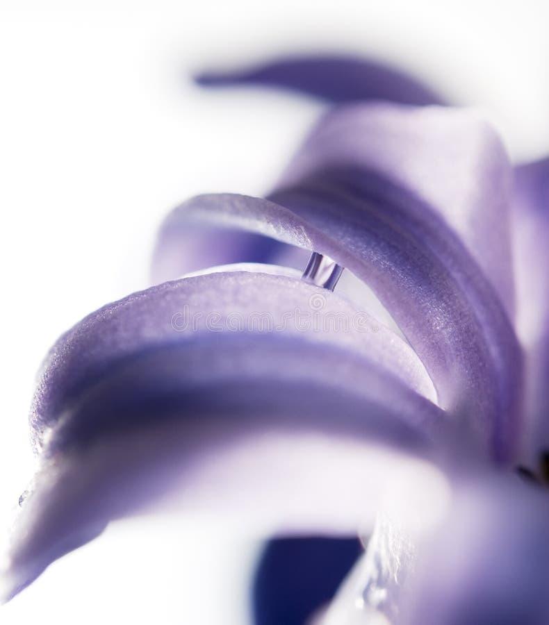 kwiatu hiacynt obrazy royalty free