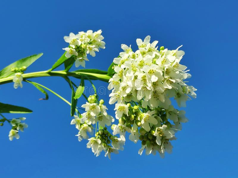 Kwiatu horseradish ogród obrazy royalty free