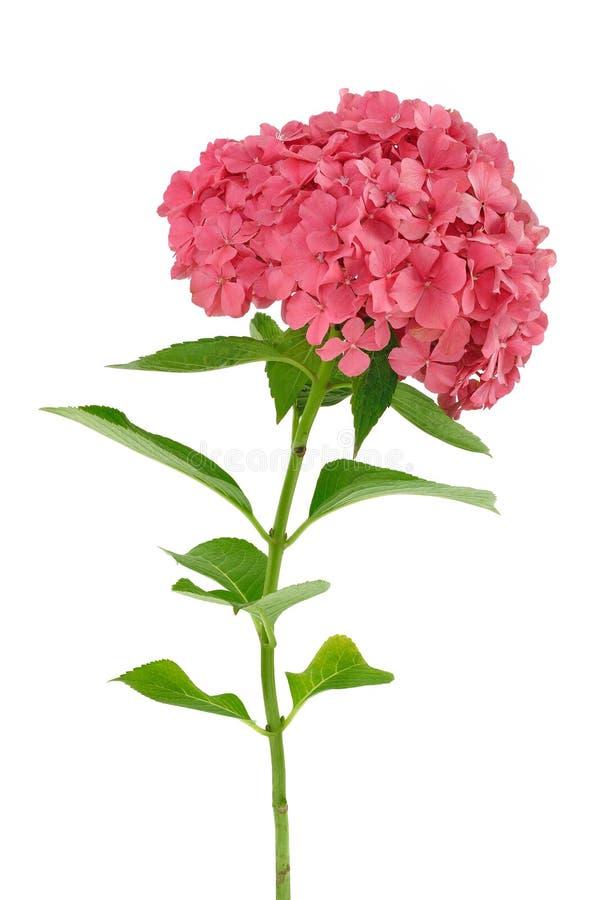 kwiatu hortensi odosobniony macrophylla biel obraz stock