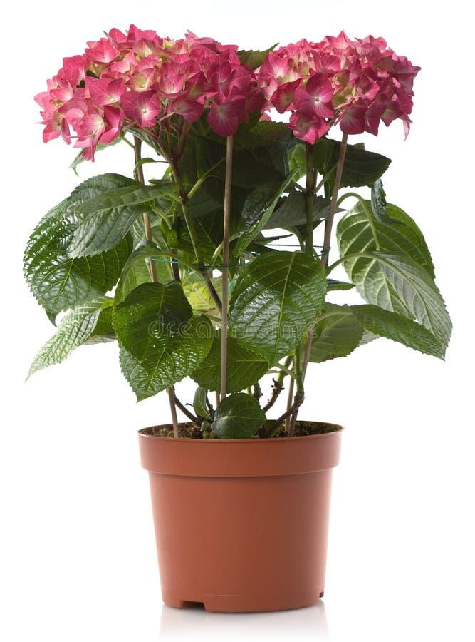 kwiatu hortensia zdjęcie royalty free
