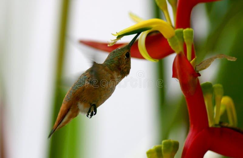 kwiatu hummingbird zdjęcia stock