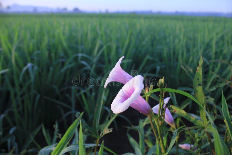 Kwiatu i ryż pole w Indonesia obraz royalty free