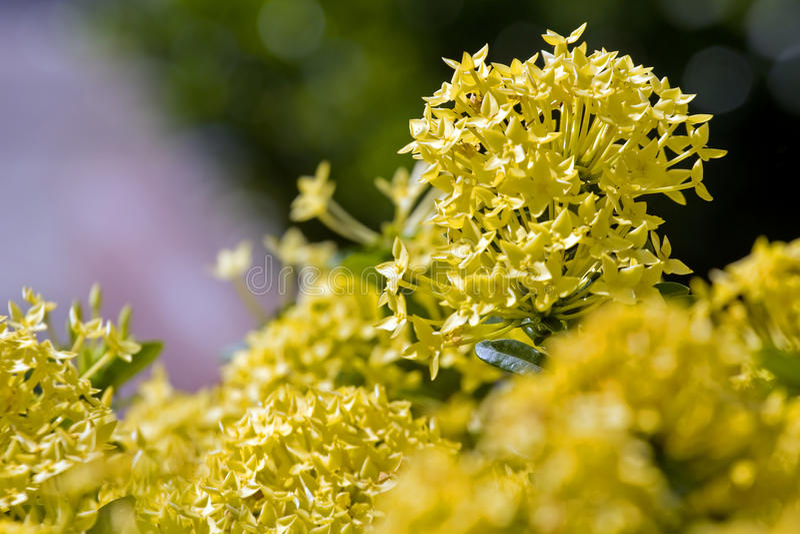 kwiatu ixora Żółty kolca kwiat Królewiątka Ixora kwitnienie zdjęcie royalty free
