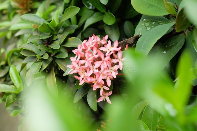 kwiatu ixora obrazy royalty free