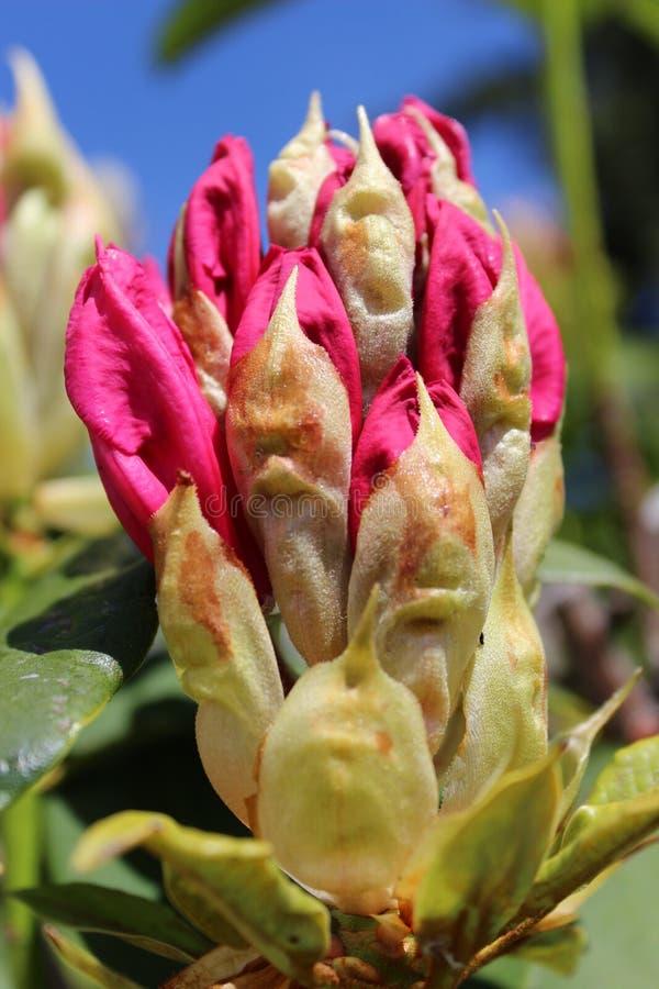 Kwiatu jaskrawi r??owi rododendronowi p?czki zdjęcia stock