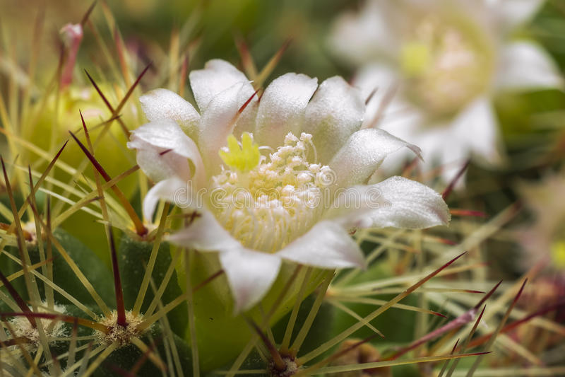 kwiatu kaktusowy biel fotografia royalty free