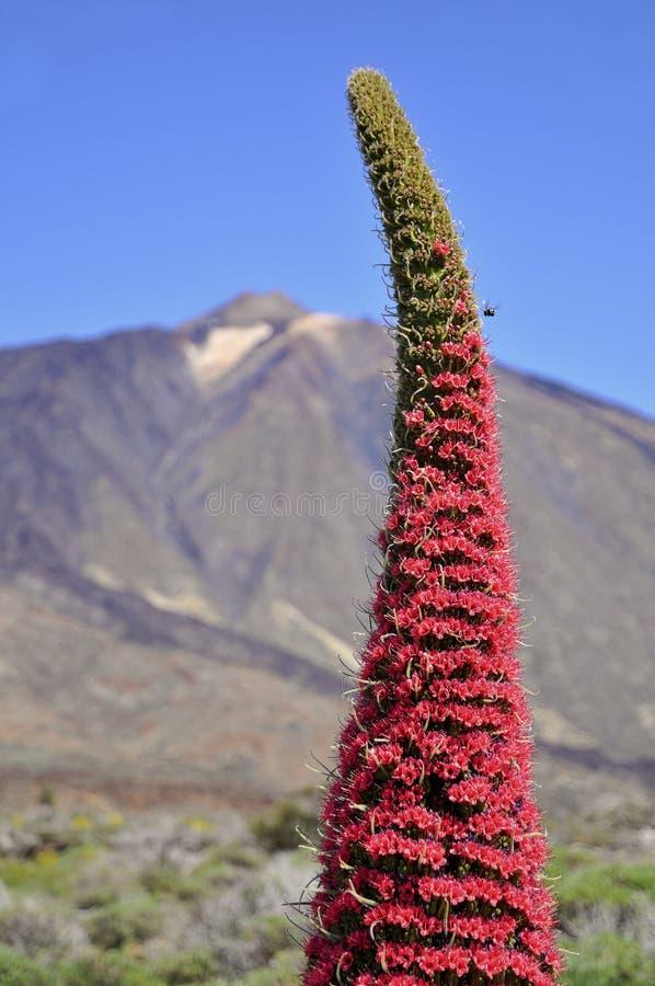 kwiatu klejnotów Tenerife wierza zdjęcia stock