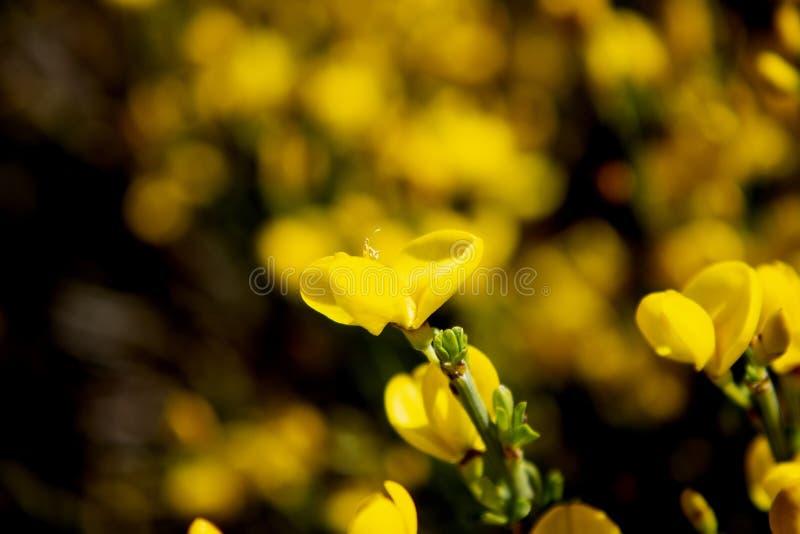 Kwiatu kolor żółty odizolowywający na tle rozbraja punkt obraz royalty free