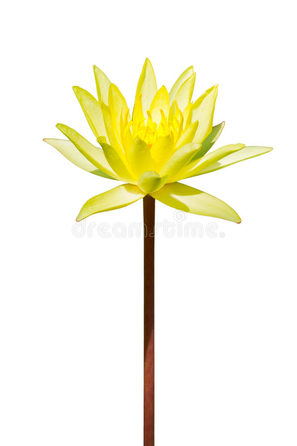 kwiatu kolor żółty odosobniony lotosowy zdjęcie stock