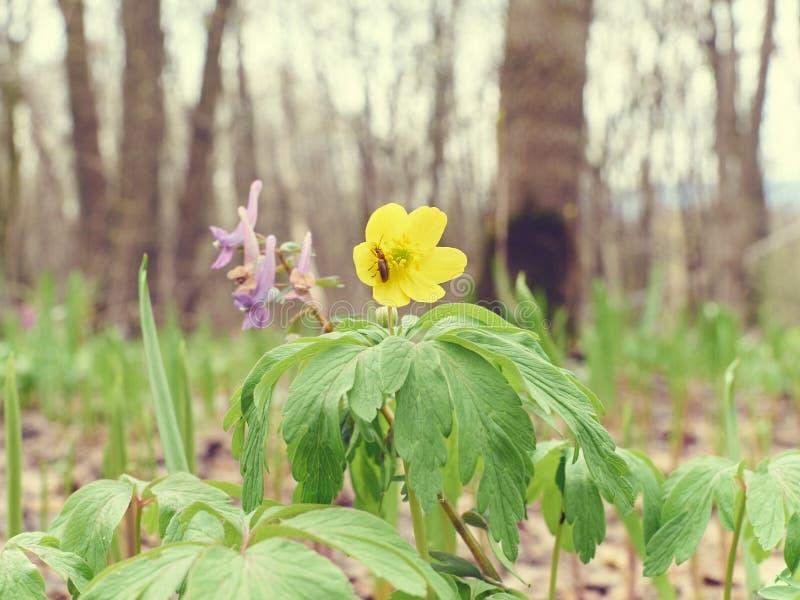 Kwiatu koloru żółtego jaskier zdjęcia stock