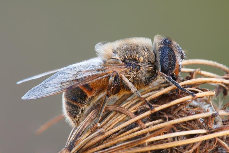 kwiatu komarnicy macro obsiadanie fotografia royalty free