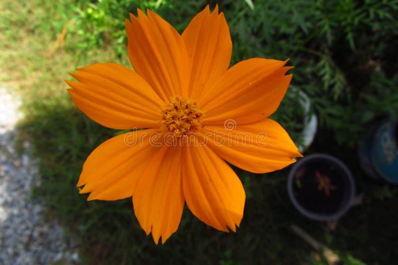 Kwiatu kosmos obrazy stock