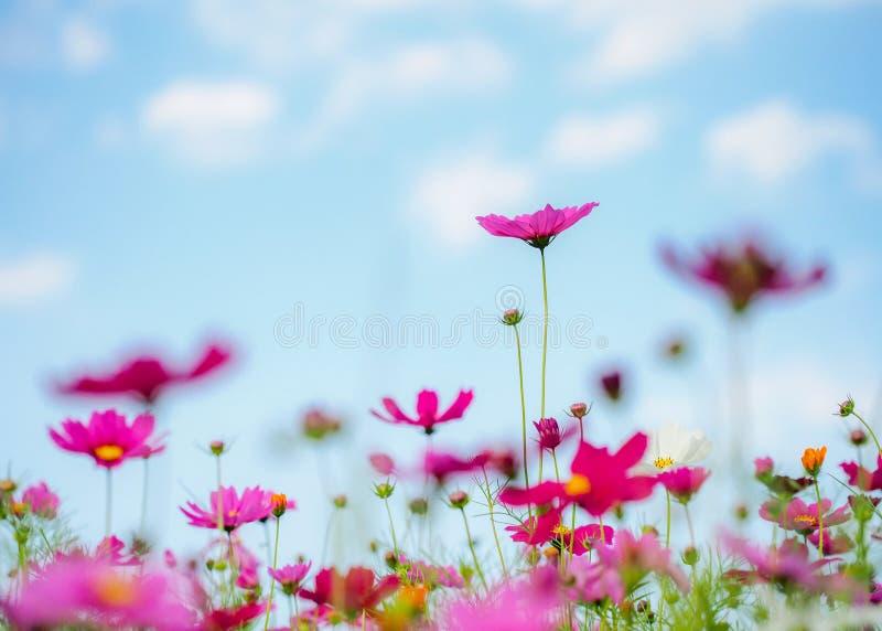 Kwiatu kosmos w łące, niebieskie niebo obraz royalty free