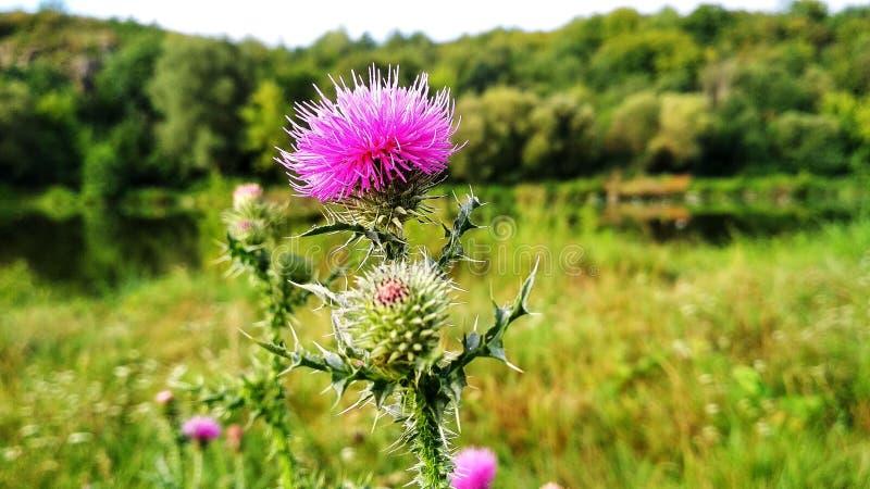 Kwiatu kręgosłupy na tle rzeka zdjęcia stock