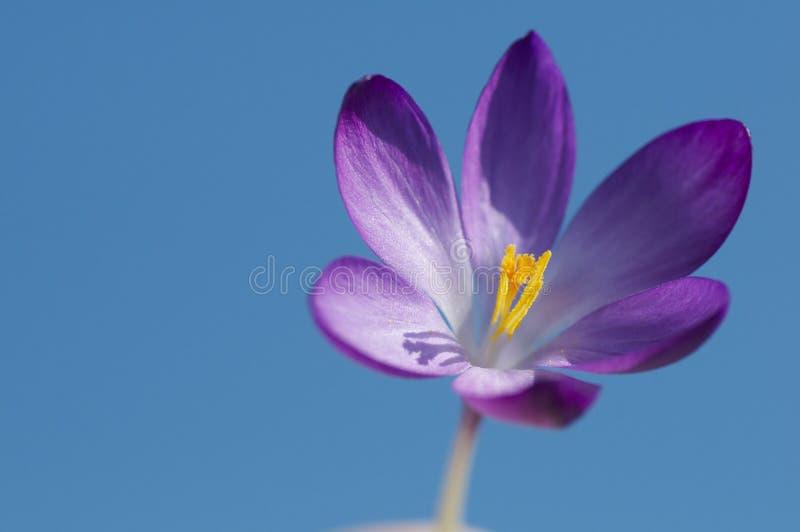 Kwiatu krokus z błękitnym tła niebem zdjęcia royalty free