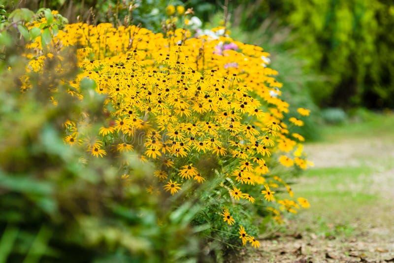 Kwiatu krzak rudbeckia zdjęcie stock