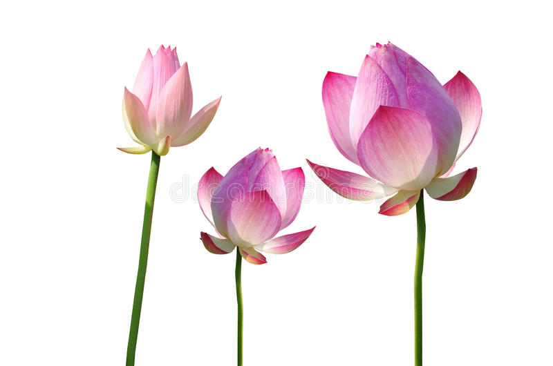 kwiatu lelui lotosu menchii Twain woda zdjęcie stock