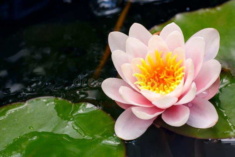 kwiatu lelui menchii woda zdjęcie stock