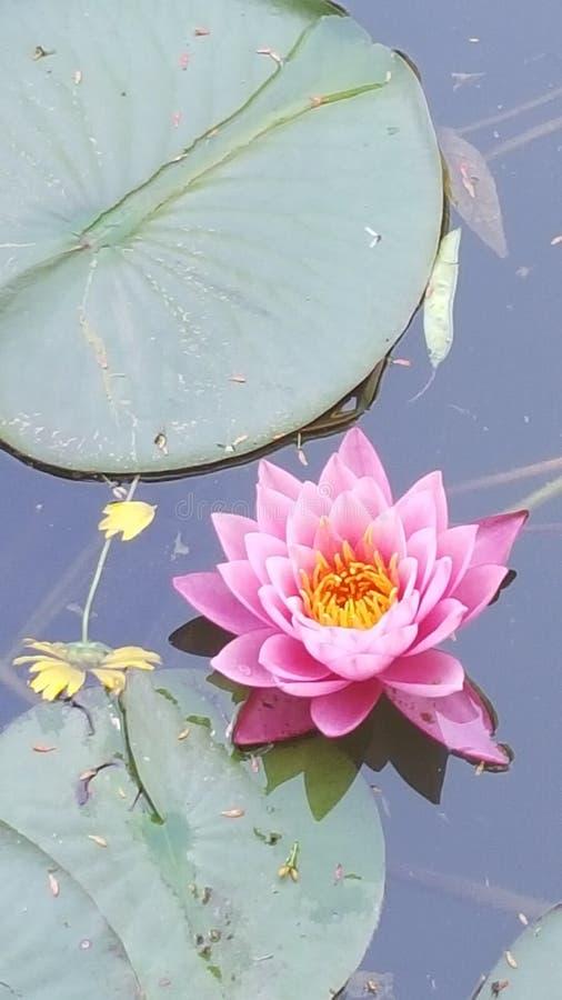 Kwiatu Lilly ochraniacz fotografia stock