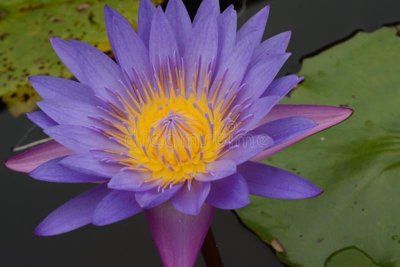 Download Kwiatu lotos obraz stock. Obraz złożonej z formaty, wakacje - 57672109
