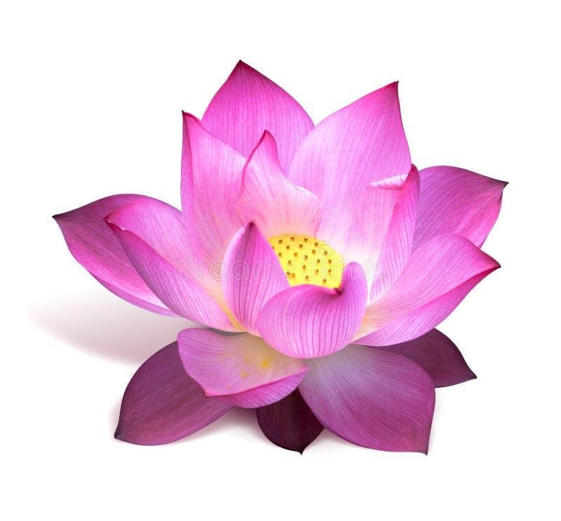 kwiatu lotosu menchie fotografia royalty free
