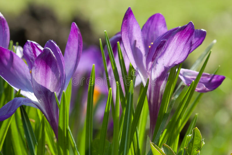 kwiatu macro fiołek obraz stock