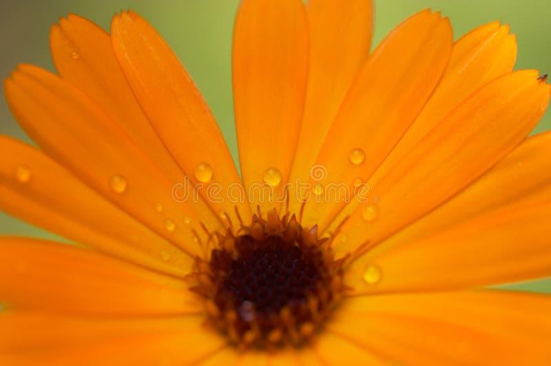 kwiatu macro pomarańcze obrazy stock