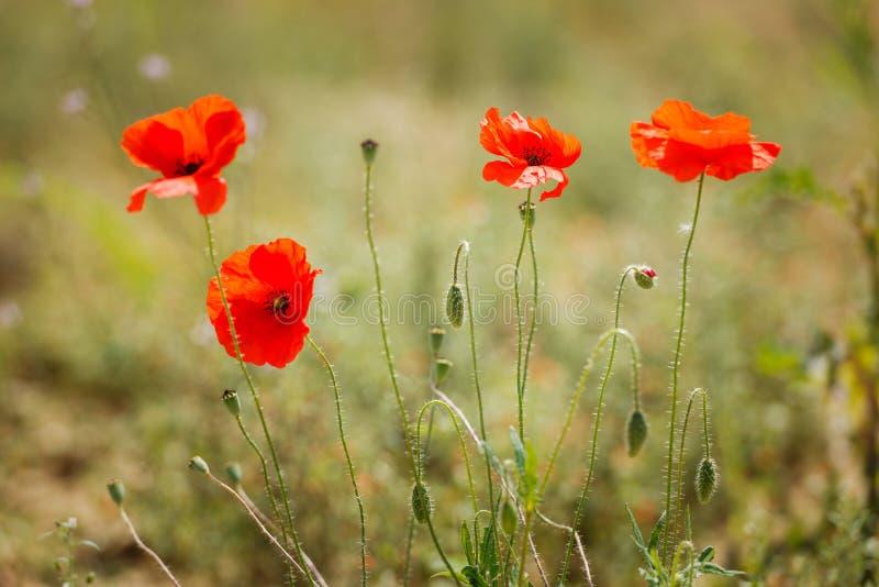 Kwiatu makowy kwiecenie na zielonym tle zdjęcia royalty free