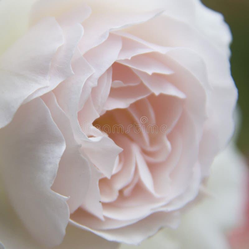 kwiatu makro- płatków fotografii pistil różanych stamens super biel obraz royalty free