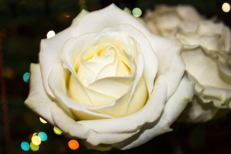 kwiatu makro- płatków fotografii pistil różanych stamens super biel Biel róża z dew fotografia stock