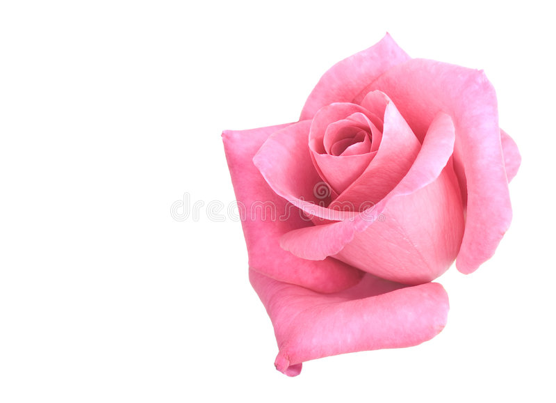 kwiatu menchie wzrastali obrazy stock