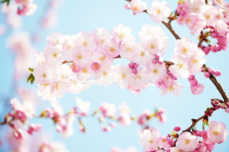 Kwiatu morelowy drzewny okwitnięcie zdjęcia royalty free
