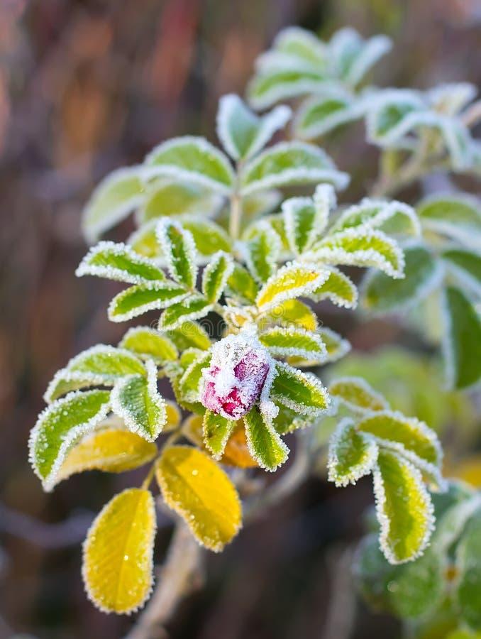Kwiatu mroźny wrzosiec zdjęcia royalty free