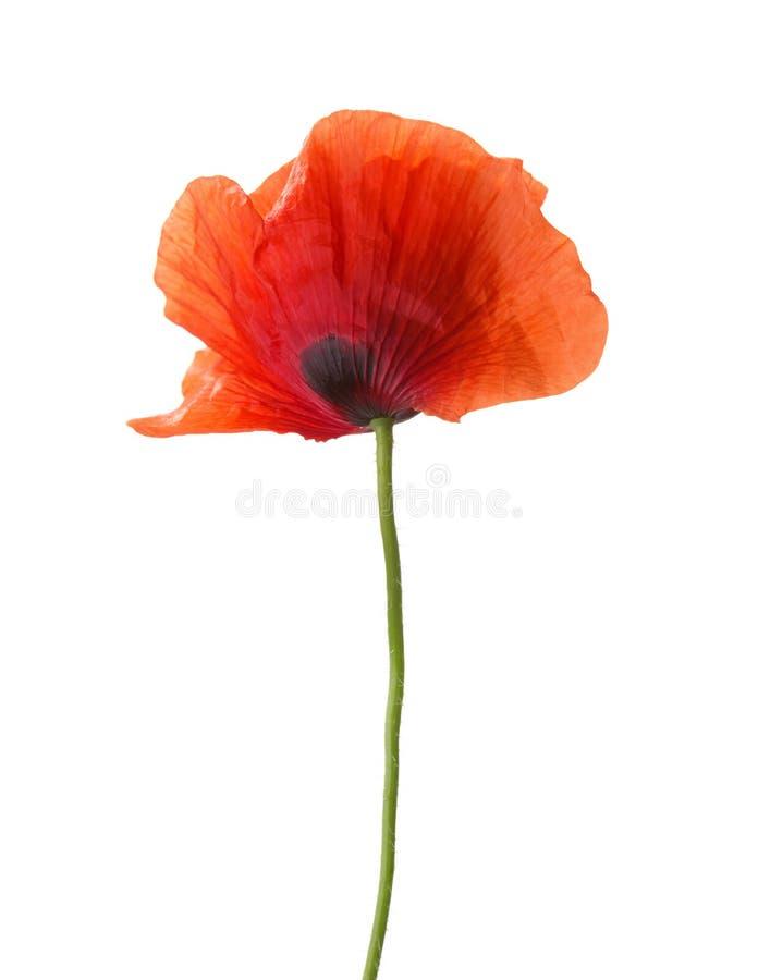 kwiatu odosobniony makowy czerwonej wiosna biel zdjęcia stock
