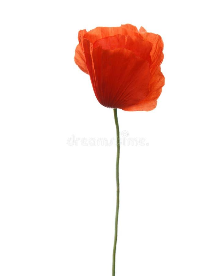 kwiatu odosobniony makowy czerwonej wiosna biel zdjęcie royalty free