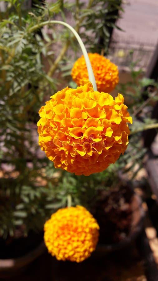 kwiatu odosobniony nagietka biel zdjęcie royalty free
