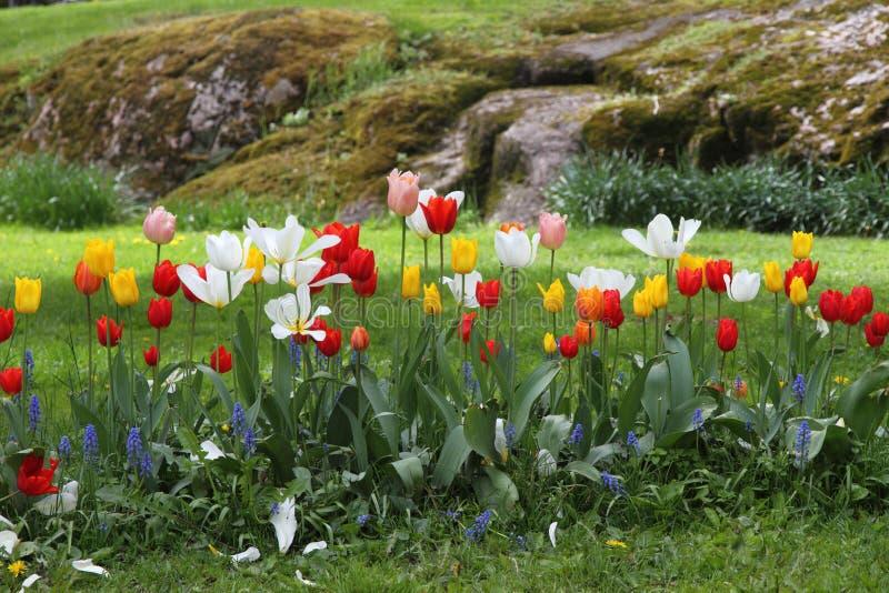 Kwiatu ogród - tulipany w wiośnie obrazy stock