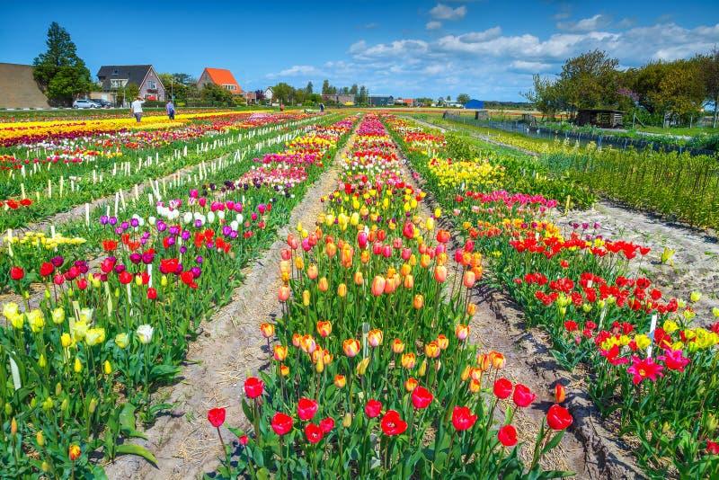 Kwiatu ogród z kolorowymi tulipanów polami blisko Amsterdam, holandie, Europa obraz stock