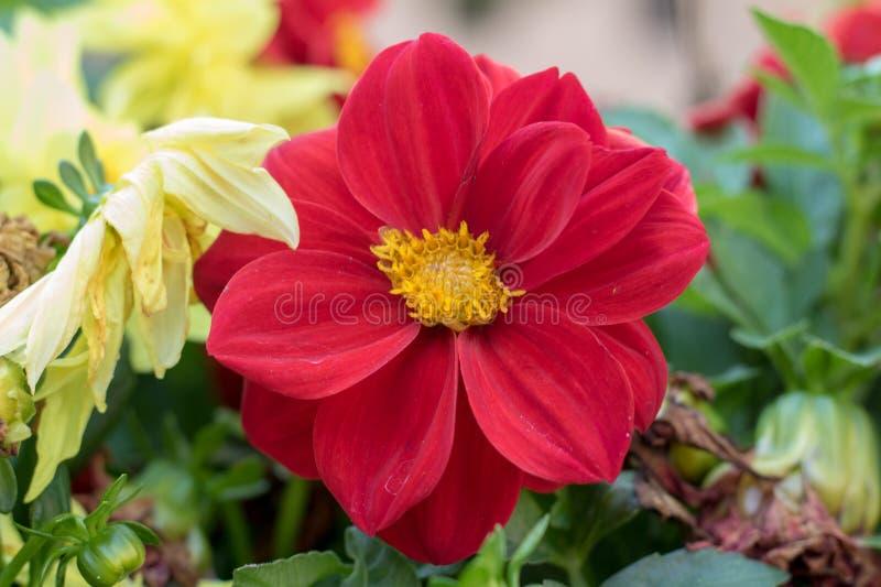 kwiatu ogródu czerwień zdjęcie stock