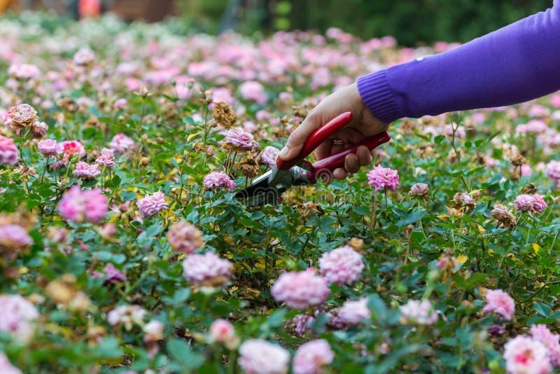 kwiatu ogrodnictwa ręki target6_0_ różanych strzyżenia zdjęcie stock